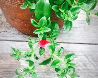 Red Ice Plants