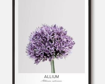 Spring Flower Photography, Allium Plant, Nature Photography, Purple Floral Wall Art, Minimalist Botanical Prints, Chic Scandinavian Poster