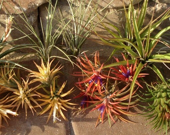 WHOLESALE Air Plant Mix of Three