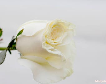 White Rose Photography, Soft Dreamy Flower Petals, Cottage Shabby Bedroom Decor, Floral Wall Art,