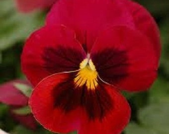 25+ Red Tri-Color Viola / Shade Loving / Perennial Flower Seeds