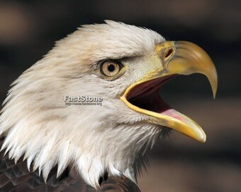 Screaming, Bald, Eagle, photo, bird photography, wildlife photography, shop, animals, raptor, wall art, home decor, free shipping, metal