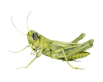 Grasshopper Picture - A3 limited Edition Print