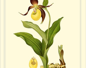 YELLOW LADY'S SLIPPER - Botanical instant digital download file 1901 Lindman
