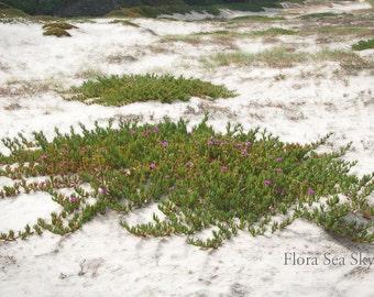 California Beach Photo, Beach Plant, Succulent Photo, Ice Plant on Beach, 5x7 Photo, 8x10 Photo, 11x14 Photo