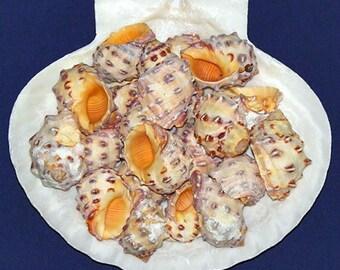 """Orange Drupa Morum Shells 3/4""""- 1-1/4""""~ Craft/Jewelry Seashells Select ~ 10 Pcs. ~ Free Shipping ~"""