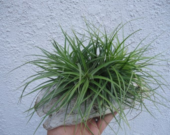 Tillandsia Stricta Green Cluster Air Plants