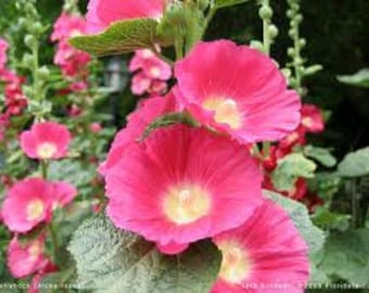 Hollyhock Seeds Majorette Double Champagne, Perennial Flower, Heirloom, 10 Seeds
