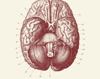 "Vintage Human Anatomy, Brain,  ""L'anatomie Humaine"" Print 8x10 P307"