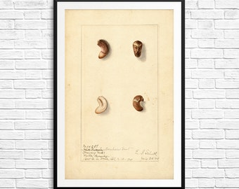 Kitchen art, Monkey Nut, botanical posters, botanical prints, antique botanical prints, prints, foodie gifts, kitchen gifts, kitchen prints