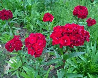 40+  Dianthus Scarlet Beauty aka Sweet William  Perennial / Fragrant / LONG BLOOM SEASON Flower Seeds