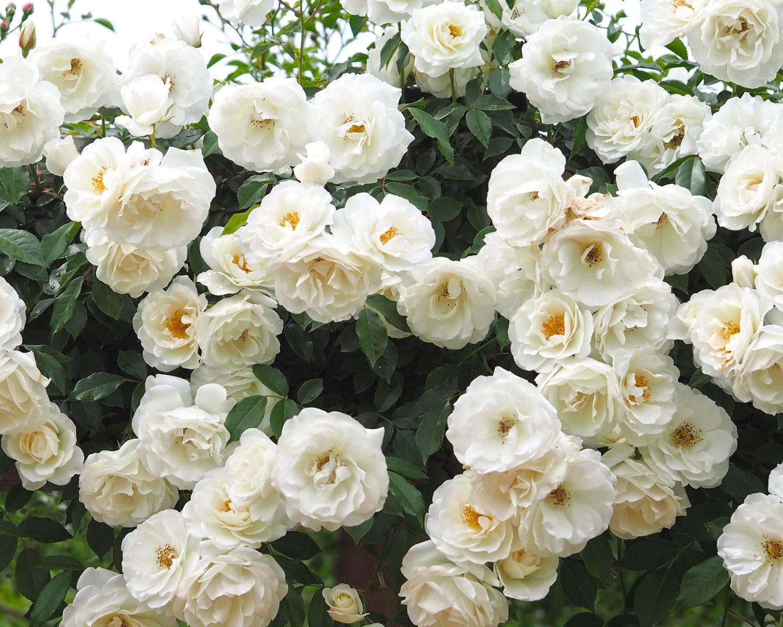 Climbing Iceberg Rose Plant Potted | Floribunda White Flowers - Easy To Grow Climber Organic Grown - SPRING SHIPPING