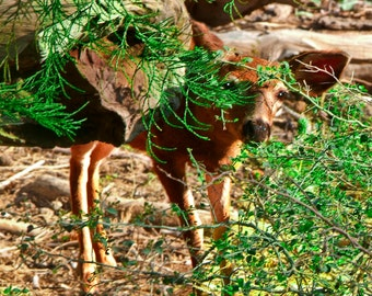 Nature Photography, Landscape Photography, Yosemite National Park,  Baby Deer, Wildlife,  California, National Park