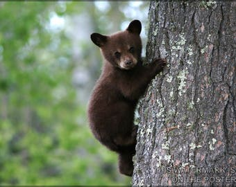 Poster, Many Sizes Available; American Black Bear Cub