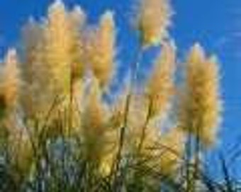 50 Golden Plume Pampas Grass Cortaderia fulvida  Seeds
