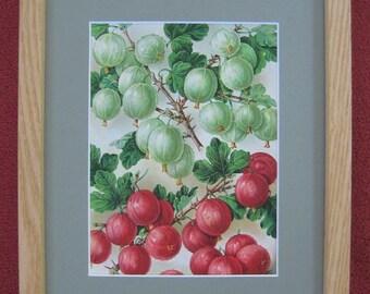 Framed Botanical Print, Antique Berries, Vintage Botanical Print, Gooseberry Illustration, Rustic Home Decor