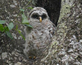 Framed Barred Owl chick
