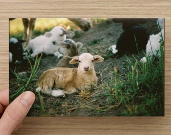 Spring Lambs Photo Note Card Blank Inside – High Quality Glossy Stock  7 x 4 1/2 Suitable For Framing Brown Lamb Peanut and The Gang