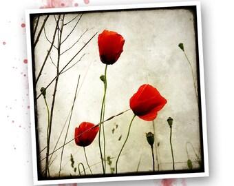 Three poppies - Nature - photo art signed 20x20cm