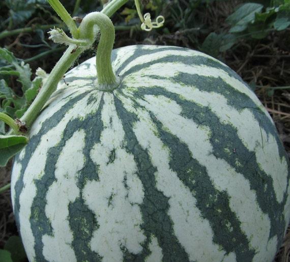 Early Moonbeam Watermelon