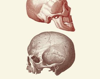 "Vintage Human Anatomy, Skulls, ""L'anatomie Humaine"" Print 8x10 P250"