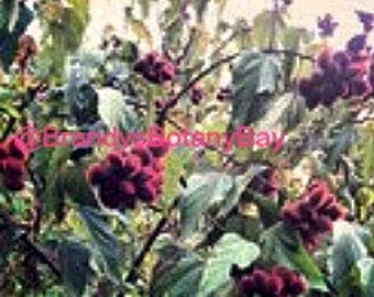 10 Lipstick Tree Seeds