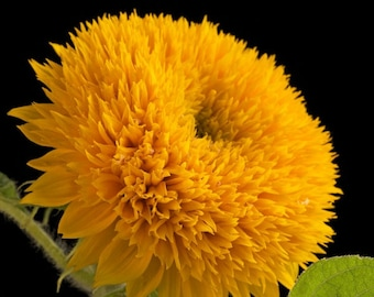 ASUD)~TEDDY BEAR Sunflower~Seeds!!~~Every Gardener's Wish!!