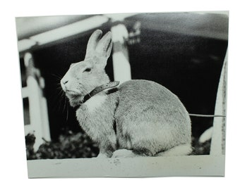 "Original Vintage Rabbit Photo. 8"" x 10"".  Circa 1970's."