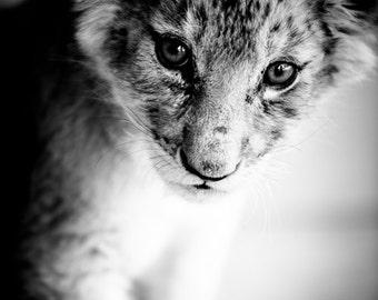 Lion Cub Fine Art Photography - Wildlife Art - Modern Wall Art - Black and White Photo - Monochrome Wild Animal - Baby Animal Room Decor