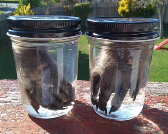 Raccoon Front Paws/Feet Wet Specimen B // Ethically Collected/Sourced