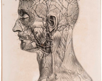 Anatomical Lamina. arteries and veins of the face. Arteries et veins de la face. Reproduction of the drawing of the Treaty Anatomy of Man