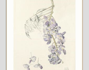 Wisteria blossom ORIGINAL botanical drawing - watercolor and pencil drawing after Wisteria flowers - floral wall art by Catalina