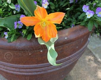 Orange flower in pot (Orange, flower)