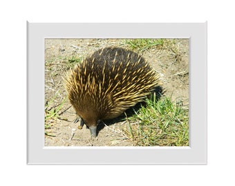 Digital Photo - Echidna - Australian Wildlife Marsupial Point Nepean