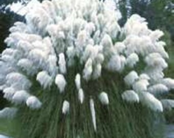 100 Ornamental (Cortaderia Selloana) , White Pampas Grass Seeds