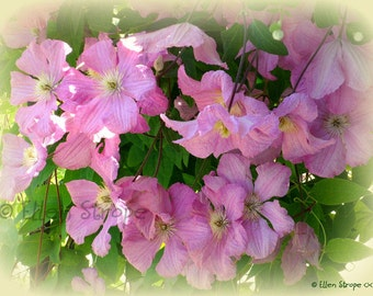 PHOTO card, flowers, Clematis, pink, flower decor, home decor, Ellen Strope, note cards, greeting cards