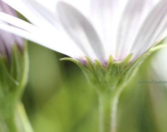 White Daisy Abstract, Fine Art Abstract Photograph by DENISE SLOAN