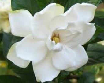 White Gardenia, Flower, Tropical, Hawaii, Exotic Perfume