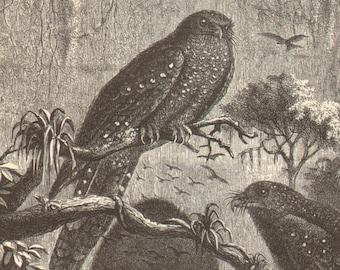 1900 Guacharo, Oilbird or Tayo Original Antique Engraving to Frame