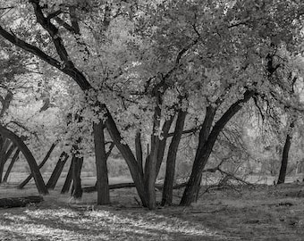 Cottonwoods No. 1, Canyon de Chelly, 2017: A Black and White Photograph 12x15