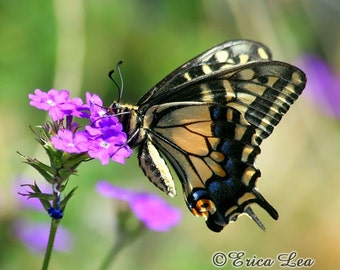 Swallowtail Butterfly Photography, color nature photography, butterfly wall decor, 5x7 8x10x11x14 fine art print