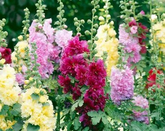 Heirloom HOLLYHOCK Carnival mixed colors - double bloom - Old Fashion Cottage Garden Flowers - Cut Flowers