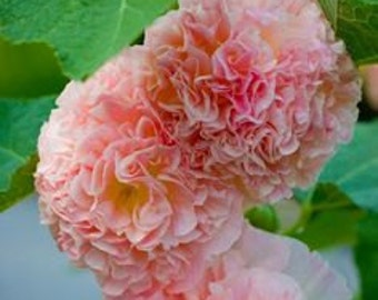 Hollyhock Seeds Double Carnival Blush Pink Flowers Perennial, 10 Seeds