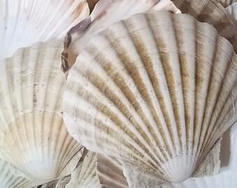 Large Natural UK Scallop Shells Sea washed 100% Natural Scallop Shell 7 - 12cm - 1, 2, 6, 12, 24, 48, 100