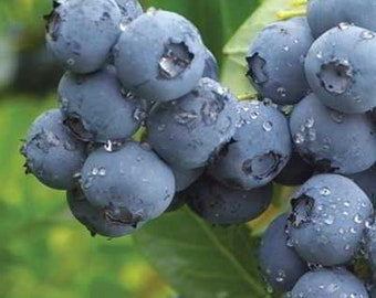Organic Semi-Dwarf Northland Blueberry Seeds -  Big berries bursting with flavor! As big on flavor as they are in size