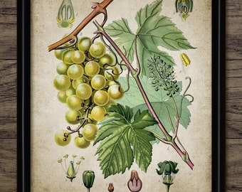 Vintage Grapes Print - Kitchen Decor - Grape Vine - Bunch Of Grapes - Wine Making Art - Printable Art - Single Print #1328 -INSTANT DOWNLOAD