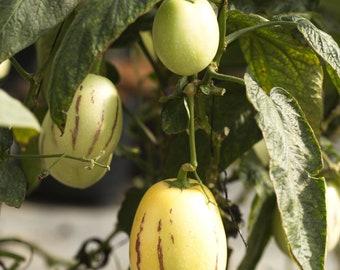 Pepino 5 Seeds, Melon Pear Seeds- Solanum muricatum