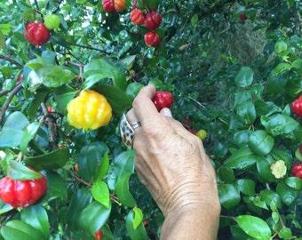 Surinam Cherry SEEDS/Eugenia uniflora/Maui Seeds/Pitanga/HAWAII Fruit Seeds/Tropical Cherry/Edible Landscaping/Tropical Fruit Seeds/Hawaii