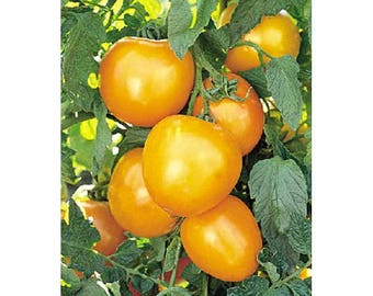Tomato Seeds, FREE SHIPPING, Jubilee Tomato Seeds, 40 seeds, Rabbit Rescue Donation