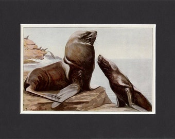 Steller Sea Lion 1916 Signed Print by Louis Agassiz Fuertes Vintage Mounted Bookplate Picture with Mat American Sealions Print